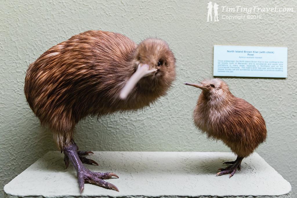 #1 Canterbury Museum (坎特伯雷博物館):紐西蘭國鳥 - 奇異鳥