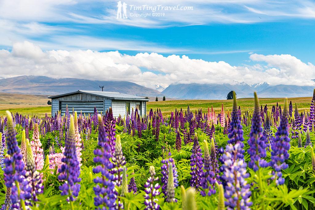 開車自駕上 Mt John Observatory (約翰山天文台) 必經景點:Lupins Flower Sea (魯冰花海) @Godley Peaks Rd