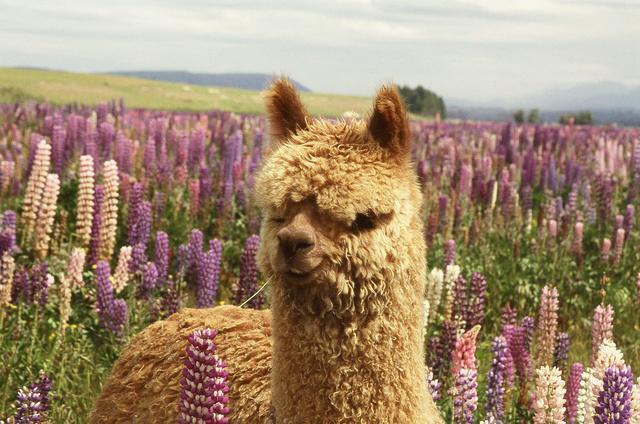 Tekapo 到 Christchurch 沿途景點#3.1 - Gem Alpaca Stud (羊駝農場)