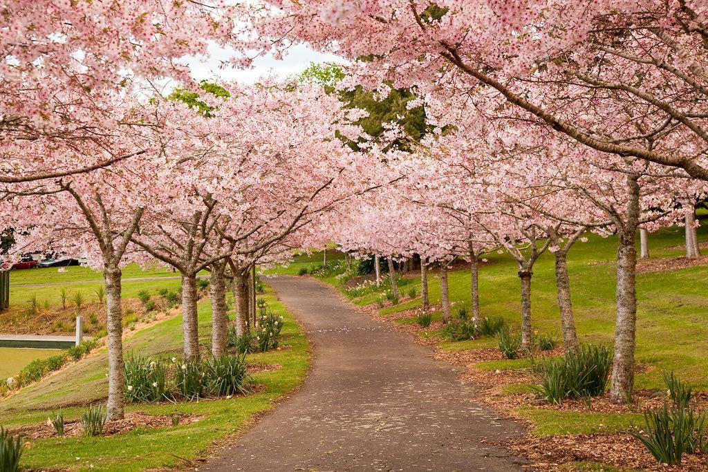 每年九月前後 Auckland Domain (奧克蘭中央公園) 會有盛開的櫻花景緻