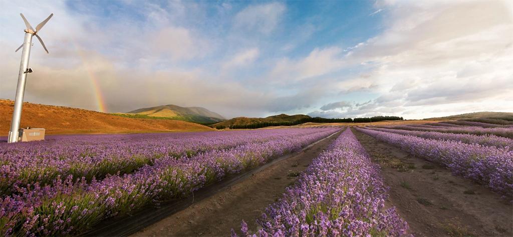 Queenstown 到 Mt Cook 沿途景點 #8 - NZ Alpine Lavender (紐西蘭高山薰衣草農場)