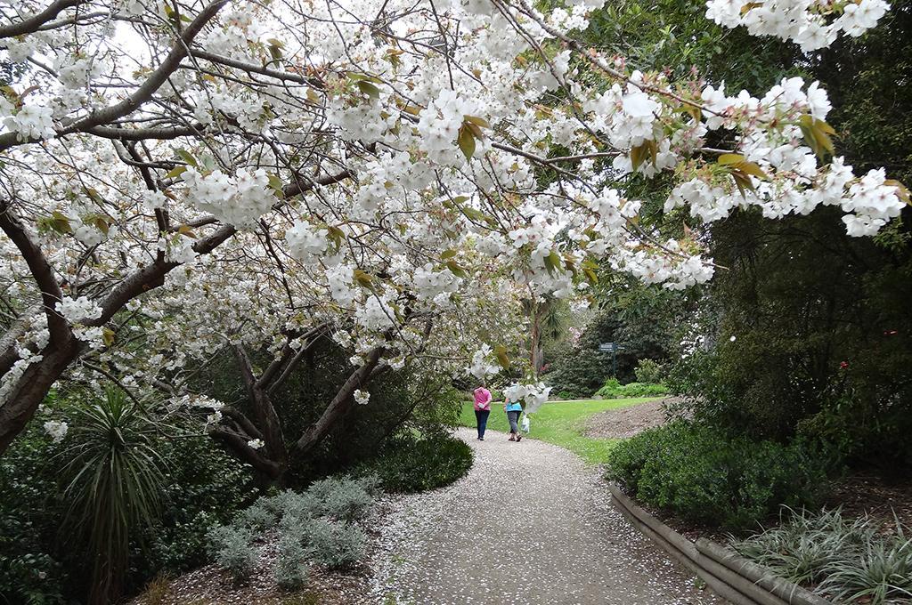 Dunedin Botanic Garden (但尼丁植物園) 的櫻花