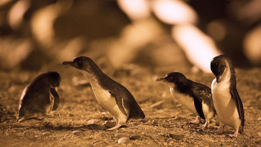 Oamaru 必遊景點 #2 - Oamaru Blue Penguin Colony (小藍企鵝保護中心)