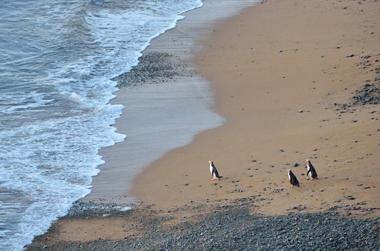 沙灘上的黃眼企鵝