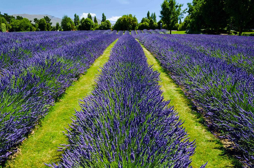 Wanaka 必遊景點 #6 Wanaka Lavender Farm (瓦納卡薰衣草農場)