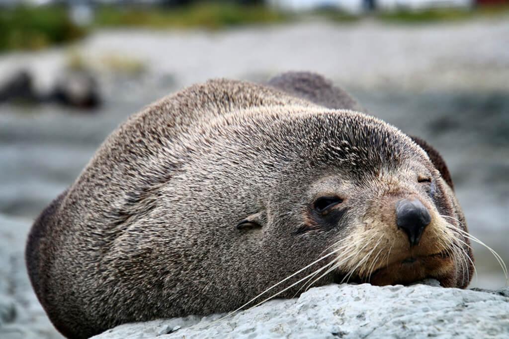 Point Kean Viewpoint (基恩角觀景台)上的慵懶毛皮海獅