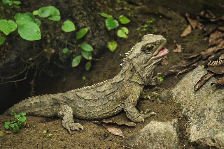世上極為稀有、且僅紐西蘭庫克海峽附近島嶼才有的 Tuatara